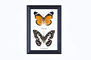 Two Real Framed Butterflies (Assorted Species) | Every Display Frame is Unique! | Real Butterfly Taxidermy Wall Decor | 7 x 5 in.