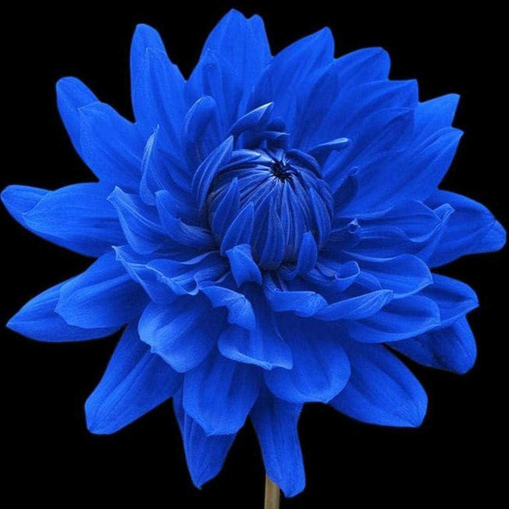 Free Venus 10 UNIDS Rare Blue Dahlia Pinnata Seed Dahlia Flower Seeds Home Garden DIY Plantas Semillas