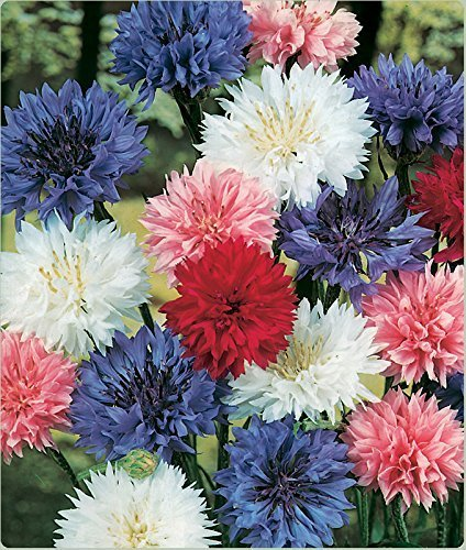 David's Garden Seeds Flower Bachelor's Button Dwarf Mix SL1247 (Multi) 500 Non-GMO, Open Pollinated Seeds