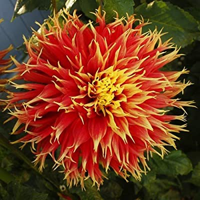 2 Show & Tell Dinnerplate Dahlia Tubers - Root - Bulb - Plant - Spring Planting & Summer Flowers - Blooming Size : Garden & Outdoor
