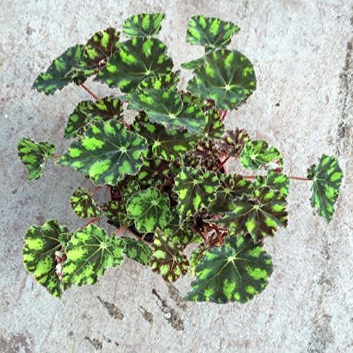 Begonia boweri 'Tiger' House Plant in a 13cm Pot Perfect Plants