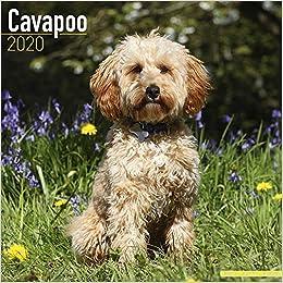 Cavapoo Calendar 2020