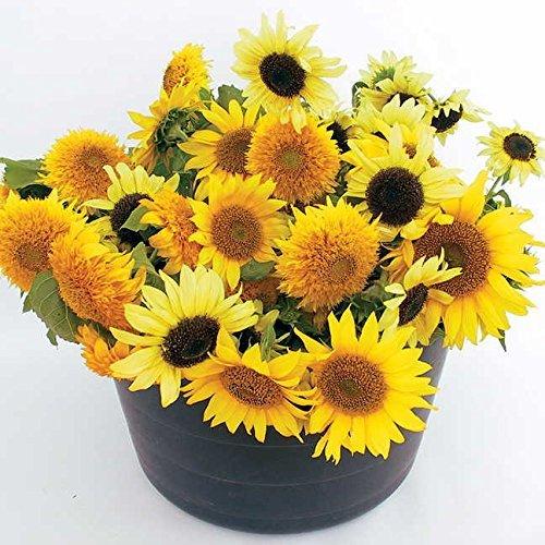 Lulan 10 Dwarf Mix Organic Sunflower Seeds