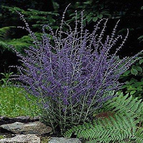 Russian Sage Plant - Perovskia atriplicifolia - HARDY - Live Plant - Quart Pot (Perennial Sage Russian)