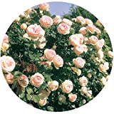 Eden Climber Rose Bush Reblooming Pink Climbing Rose Grown Organic 4'' Potted - Easy To Grow