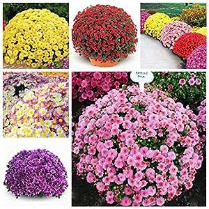 100seeds / bolsa de semillas Inglés margarita Bellis perennis semillas de flores de crisantemo bonsai raro para las flores de la Casa Jardín de las plantas al aire libre púrpura
