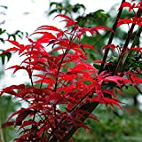 auto sprouter - 10 JAPANESE MAPLE TREE Acer Palmatum Red Maple Seeds
