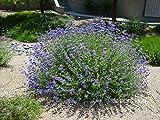 Cleveland Sage Aka Salvia Clevelandii Live Plant Perennial Plant Fit 01 Gallon Pot