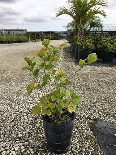 PlantVine Jasminum sambac, Arabian Jasmine, Sambac Jasmine - Large - 8-10 Inch Pot (3 Gallon), Live Plant - 4 Pack by PlantVine (Image #3)
