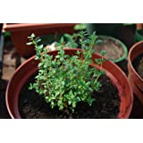 Thyme Herb Seeds- Common- Heirloom Variety- 500+ Seeds