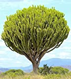Euphorbia ingens candelabrum exotic Candelabra Tree seed 5 seeds