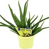 Exotenherz.de - 2 piante di Aloe vera barbadensis Miller