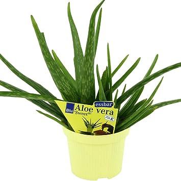 2 Pflanzen - Aloe Vera 'sweet' - Aloe Vera Barbadensis Miller ... Aloe Vera Pflanze
