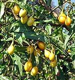Tasmanian Kangaroo Apple 15 Seeds - Solanum