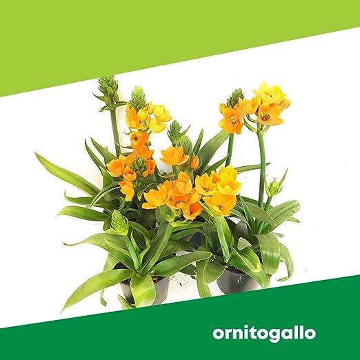 Ornitogal (6 plantas) – Flores no comestibles – Empresa agrícola Carmazzi: Amazon.es: Jardín