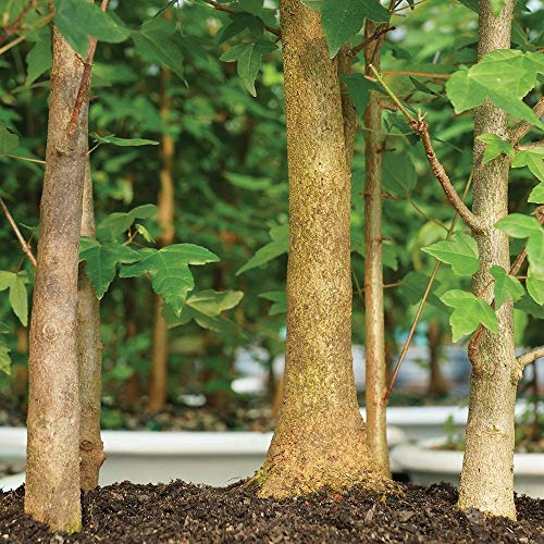 Brussel's Bonsai Live Trident Maple Forest 7 Outdoor Bonsai Tree - 3 Years Old; 8'' to 14'' Tall with Decorative Container by Brussel's Bonsai (Image #2)