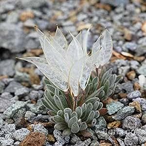 Saver 150pcs semillas daggerpod jardín plantas suculentas para macetas