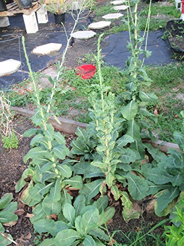 Lettuce, Wild, Wild Lettuce, Lactuca Virosa, Organic, 50 seeds per pack