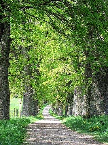 (5 LAUREL OAK TREE Quercus Hemisphaerica Native aka Darlington Coastal & Sand Laurel Oak Seeds)