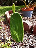 Spineless Prickly Pear Cactus Plant with extensions ~ Grow Your Own Opuntia Cactus