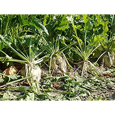 2 lb Sugar Beets Seeds, Food Plot Seed, Deer, Wildlife : Garden & Outdoor