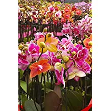 Phalaenopsis Orchid Hybrid Assorted (Grower Select), Live Plant Houseplant Home Decor (3in pot, live plant)
