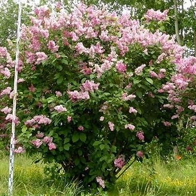 Hungarian Lilac Bush Seeds (Syringa josikaea) 20+Seeds : Garden & Outdoor