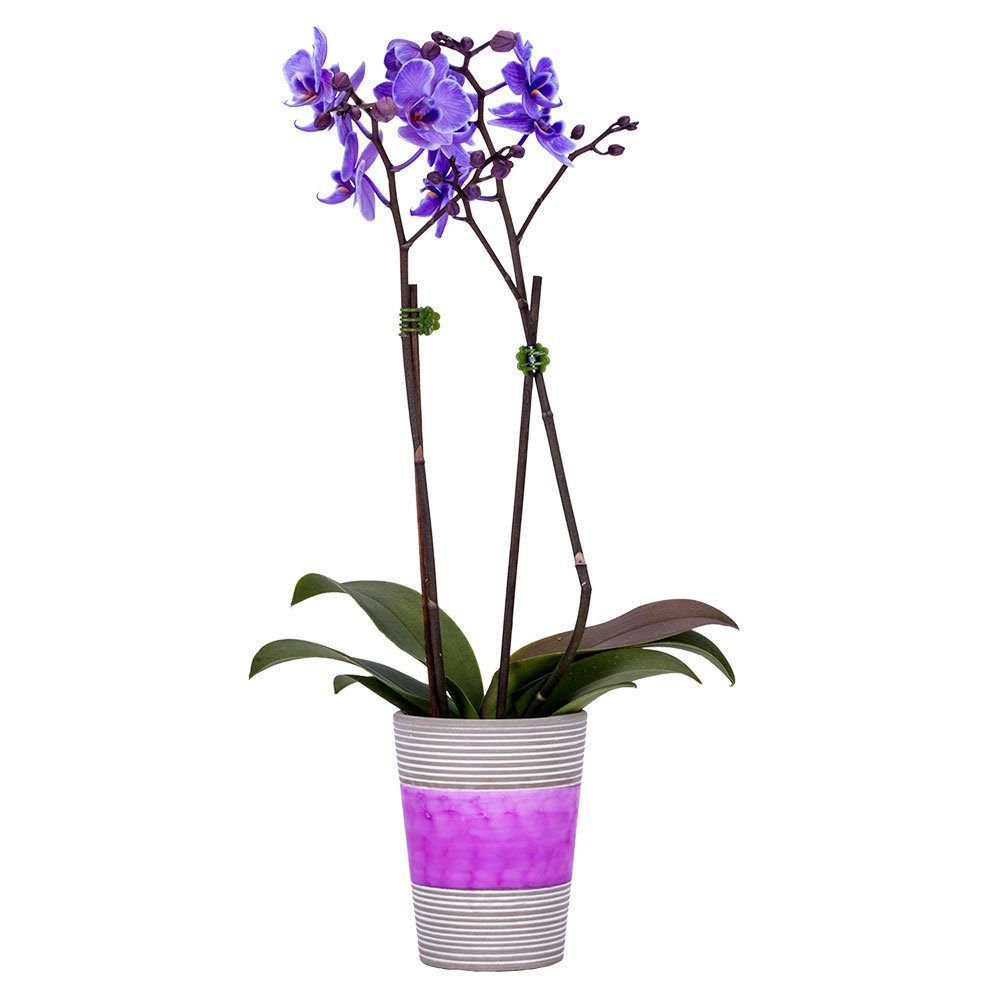DecoBlooms Living Purple Orchid Plant - 3 inch Blooms - Fresh Flowering Home Décor by Unknown
