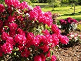 Rhododendron Nova Zembla #7 Size Container Plant - Light Red Blooms