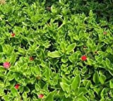 20 Cuttings OF Red Apple Ice Plant Aptenia cordifolia