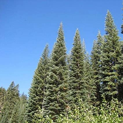 Amazoncom California Red Fir Tree Seeds Abies Magnifica 5 Seeds