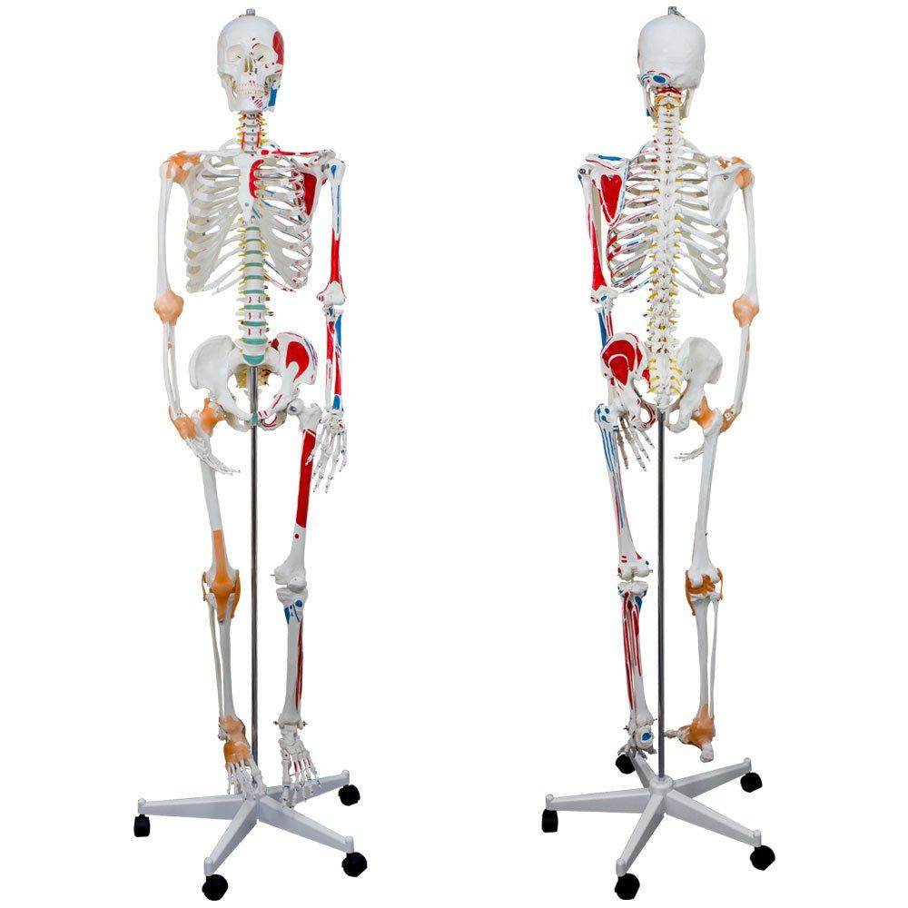 Menschliches Skelett mit Muskeldarstellung Ligamenten Anatomie ...