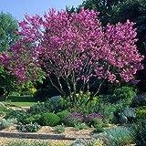 Judas Tree Seeds (Cercis siliquastrum) 25+Seeds