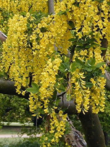 - GOLDEN CHAIN TREE 65 SEEDS HARDY BEAUTIFUL FAST GROWING TO BLOOMING TREE