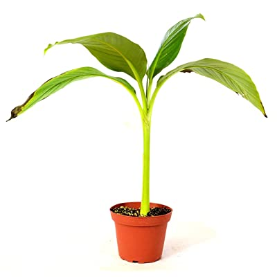 Baby Musa Basjoo cold hardy banana plant mature grown winter hardy rare to find : Garden & Outdoor