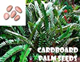 25 Cardboard Palm seeds, ( Zamia furfuracea ) from Hand Picked Nursery