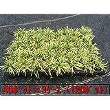 かぐや竜(カグヤリュウ)ポット 120ポット(40ポット×3ケース)(植え付け方付)玉竜(タマリュウ)の黄金葉品種