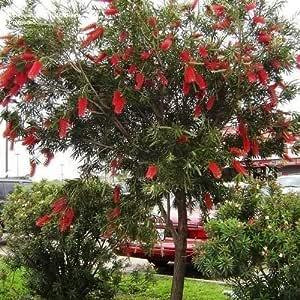 RED WILLOW BOTTLEBRUSH SEEDS NATIVE FLOWERING TREE CALLISTEMON 300 SEED PACK