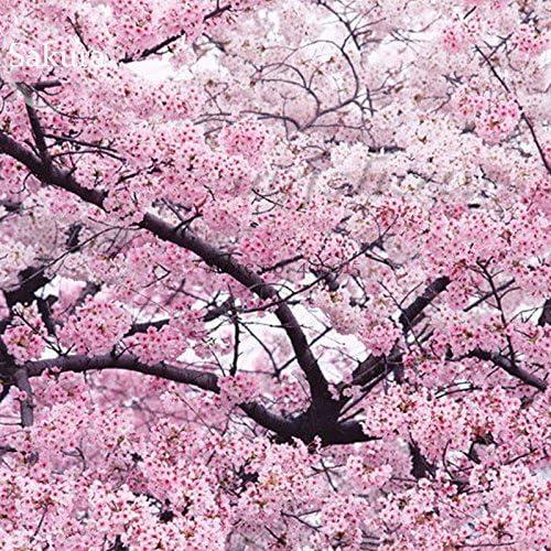 10 Japanese Pink Cherry Plum Blossom Sakura Tree Seeds Winter Hardy By Pretty Wild Seeds Amazon Co Uk Garden Outdoors