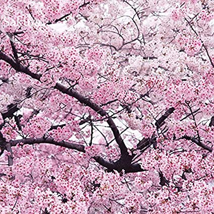 Giant Japanese Pink Cherry Blossom Sakura Tree 20 Seeds Oriental