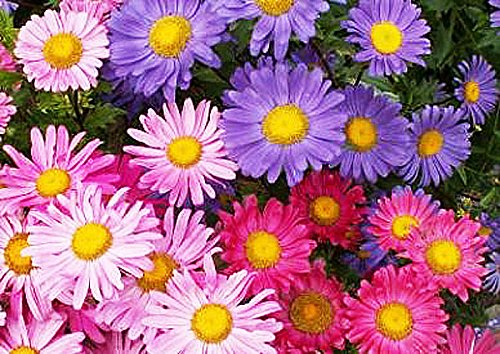 China Aster Mix Seeds - Approximately 2500 Seeds