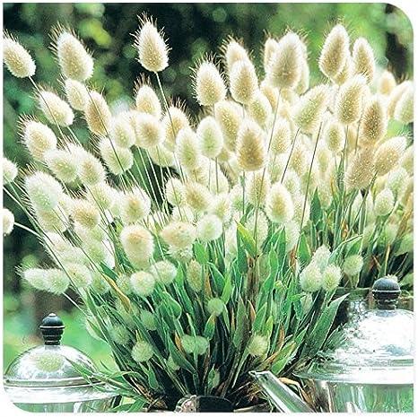 Bunny Tails Lagurus ovatus seeds