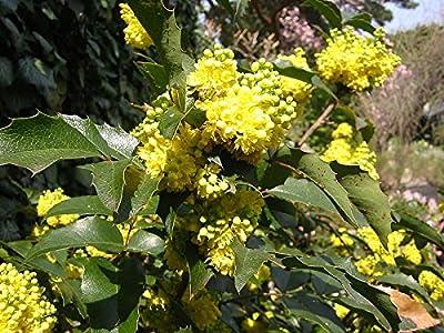 15 Seeds Dwarf Oregon Grape, Cascade Barberry Mahonia nervosa