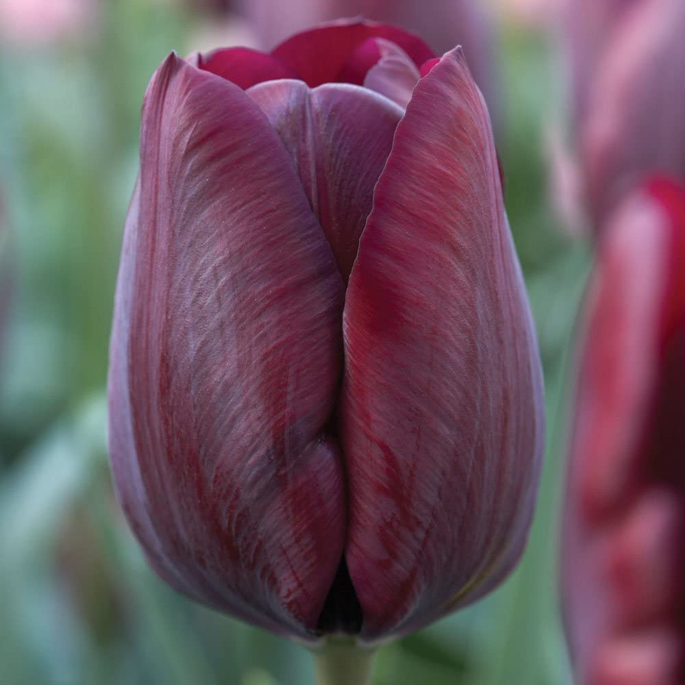 Humphreys Garden Triumph Tulip Tulipe White Dream x 30 Bulbes Size 10//11