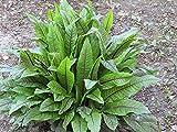 25 Seeds Rumex Sanguineus Perennial