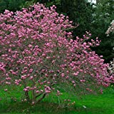 Ann Tulip Magnolia Tree - Live Plant Shipped 2 to 3 Feet Tall by DAS Farms (No California)