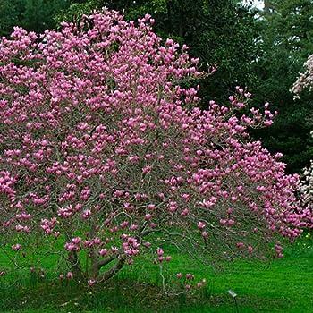 Amazoncom Ann Tulip Magnolia Tree Live Plant Shipped 2 To 3