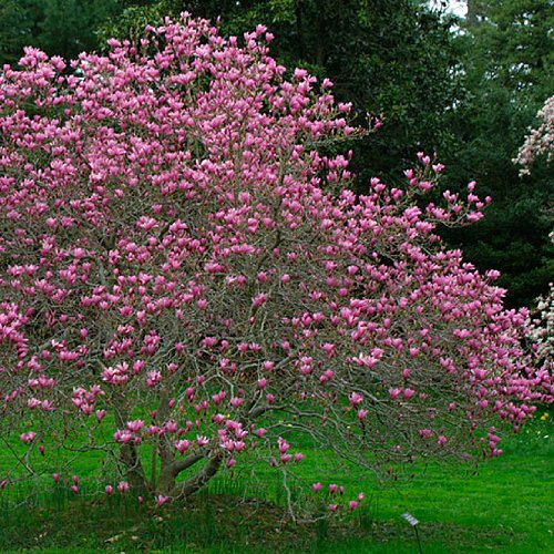 Ann Tulip Magnolia Tree - Live Plant Shipped 2 to 3 Feet Tall by DAS Farms (No California)