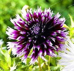 50 PC / bolso 100% de la semilla verdadera dalia jardín de la flor de la dalia Bonsai mini semilla de flor Fácil Crecer bricolaje del hogar de la planta 24