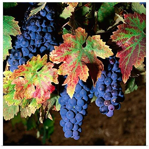 GREATBIGCANVAS Poster Print Entitled Zinfandel Grapes in Autumn, Brandlin Vineyard. by 12